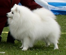 Finnish Champion - (Nord. Champ.) CAC - BOS on the Japanese Spitz club of Finlands Show 24 july 2010 N S Uch Jasam's Snow White Holiday Romance Owner: Satu Taskinen