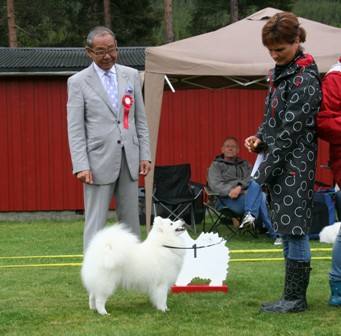 Norwegian Japanese Spitz club's show 12/6-2010   N Uch Jasam's Just a Flower of Harry  BEST FEMALE - BOS CHAMPION - BOS (over 50 JS was on)