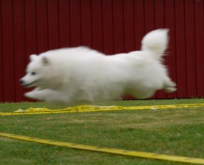 RUN FOR FUN :-) Jasam's Just a Flower of Harry nr 2 i hundeløpet, så ikke bare DUM Å DEILIG:)