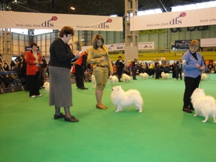 CRUFTS - 2010  Jasam's Golden son of Silverboy  became CLASS WINNER with 8 dogs in his class !!! All Zlatik's titles : World Junior Winner 2008, European Junior Winner 2008, Junior Champion of the Russian Spitz Club,Russian Junior Champion, Latvian Junior Champion, Hungarian Junior Champion, Russian Champion, Champion of the Russian Spitz Club, Russian Grand Champion, Eurasia Champion,RKF Champion, Lithuanian Champion, Romanian Champion, Romanian Grand Champion,Macedonian Champion, Champion of Montenegro, Bulgarian Champion, Balkan Champion, Serbian Champion,   Owner: Elena Bulygina - Russia BIG CONGRATULATIONS - I'm so proud of you both !!!